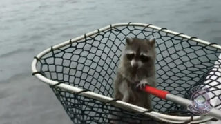 Waterborne raccoon rescued from channel marker