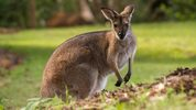 A wallaby surprised a Dallas couple during their morning walk.