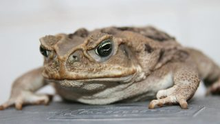 Swarms of poisonous toads hopping through South Florida city