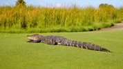 A giant alligator, similar to this one, surprised golfers at a club in Savannah, Georgia, Sunday when it suddenly appeared on the green and lumbered across the course to a nearby pond. (Photo: Pixabay)