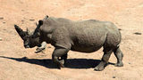 A rhino is seen at Kruger National Park on Dec. 2, 2015. (Photo by Paul Edwards - Pool/Getty Images)