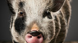 Police: Pet Pig That Got Loose in California Slaughtered by Neighbor