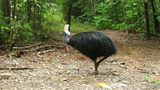 FILE - In this June 30, 2015, file photo, an endangered cassowary roams in the Daintree National Forest, Australia. On Friday, April 12, 2019, a cassowary, a large, flightless bird native to Australia and New Guinea, killed its owner.