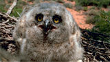 A photo of a baby great horned owl, similar to the one found in Burlington County, New Jersey.