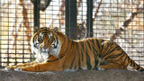 This Nov. 2018 file photo shows Sanjiv, a Sumatran tiger at the Topeka Zoo in Topeka, Kansas. City officials say Sanjiv, mauled a zookeeper early Saturday, April 20, 2019 in a secured indoor space at the zoo.