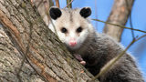 An opossum, similar to one found in a family's home in rural Ohio, perches in a tree. Opossums are mostly nocturnal animals that eat everything from insects, frogs and birds to snakes and fruits. Photo: Pixabay