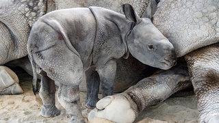 Photos: Rare, endangered Indian rhino born at Zoo Miami