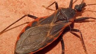 Dangerous 'kissing bug