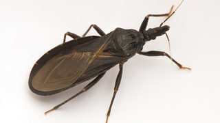 What is Chagas disease, the deadly condition caused by the kissing bug?