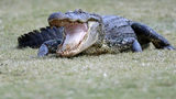 FILE PHOTO: Drivers in South Carolina were surprised by an 11-foot gator walking along a highway.