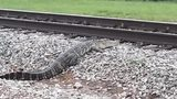 An alligator was spotted near some train tracks in Katy, Texas, on Friday morning.