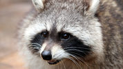 """""""Zombie raccoons"""" are disturbing a suburb of Chicago, and police are warning residents that dogs could be at risk of catching the raccoons' disease."""