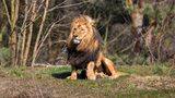 Fast Facts about Lions, the King of the Jungle