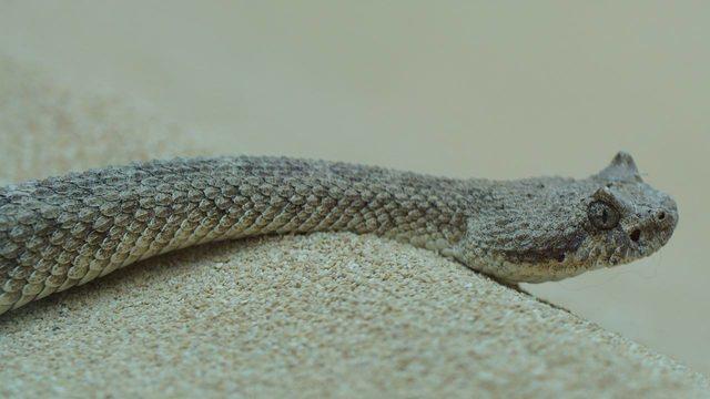 Watch Rattlesnake Eats Iguana In Arizona Desert Wftv
