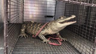 Alligator captured in Pittsburgh park