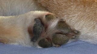 Dog injured by fox traps placed around park