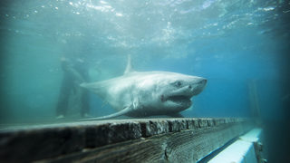 Great white shark tracked in Long Island Sound for first time ever