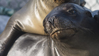 Sea lion pup makes itself comfortable in front of San Diego hotel sign