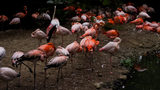 A flamingo at Miller Park Zoo (not pictured) in Bloomington, Illinois, was euthanized after it was accidentally struck by a guest who was skipping rocks, according to a zoo official. Photo: Anton Scherbakov/Unsplash