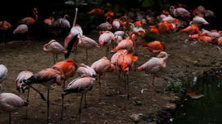 Illinois zooeuthanizes flamingo after guest accidentally injures it, official says