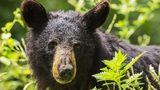 Stock photo of a black bear.