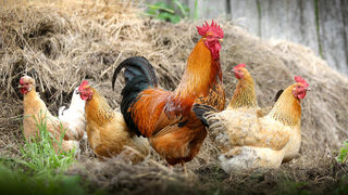 Salmonella outbreak in 21 states linked to backyard poultry; don