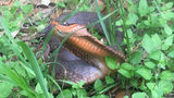 SEE: Photos of Rare, Cobra-Like Snake at Texas State Park