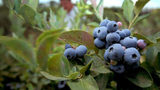 Where blueberries grow wild, they're often free for the picking. That's the idea behind a fruit and nut tree park planned for Atlanta's southeast side. (Jason Getz / jgetz@ajc.com)
