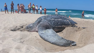 SEE: Large Sea Turtle Lays Eggs in Daylight on Florida Beach