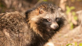What You Need to Know: Raccoon Dogs