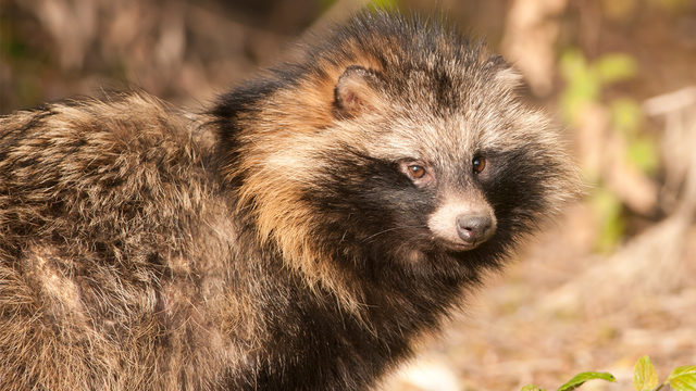 RACCOON DOG: Dangerous raccoon dogs terrorizing town