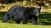 A black bear was killed when it was hit by five vehicles on I-75 in southwest Florida early Thursday.