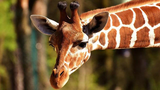 Safari park mourns 'tragic loss' of 2 giraffes killed by lightning