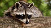 A raccoon enjoyed the Florida breeze Sunday by hanging out of a car window as it sped down a Citrus County road.