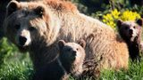 A man was bitten and slashed by a brown bear after the man's dog chased after a cub.