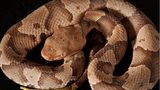 Copperheads are common in the United States, and also the most likely snakes to bite.