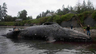 Washington couple agrees to allow whale carcass to decompose on property