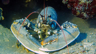 Rare blue lobster saved from fate at restaurant will go to aquarium