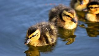 WATCH: Police, firefighters rescue 10 ducklings from sewer