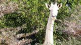 The Kenya Wildlife Service announced last week that a rare white giraffe is pregnant.