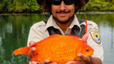 Group Urges Restraint From Flushing Goldfish After Giant Fish Found in Niagara River