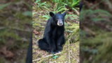 A bear had to be euthanized after it got too accustomed to people. (Washington County Sheriff's Office Oregon/Twitter)