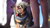 WATCH: World's Ugliest Dog Contest 2019 Winner