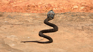 Shovel-wielding 73-year-old woman kills cobra found in her backyard