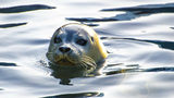 A seal in the wild. Researchers in Scotland taught three gray seals to sing as part of a study on how the animals communicate.