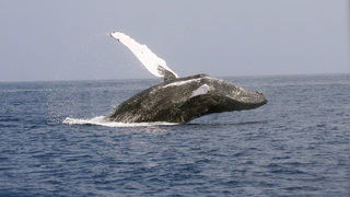 Humpback whales with huge mouths wide open surprise fishermen, bump boat