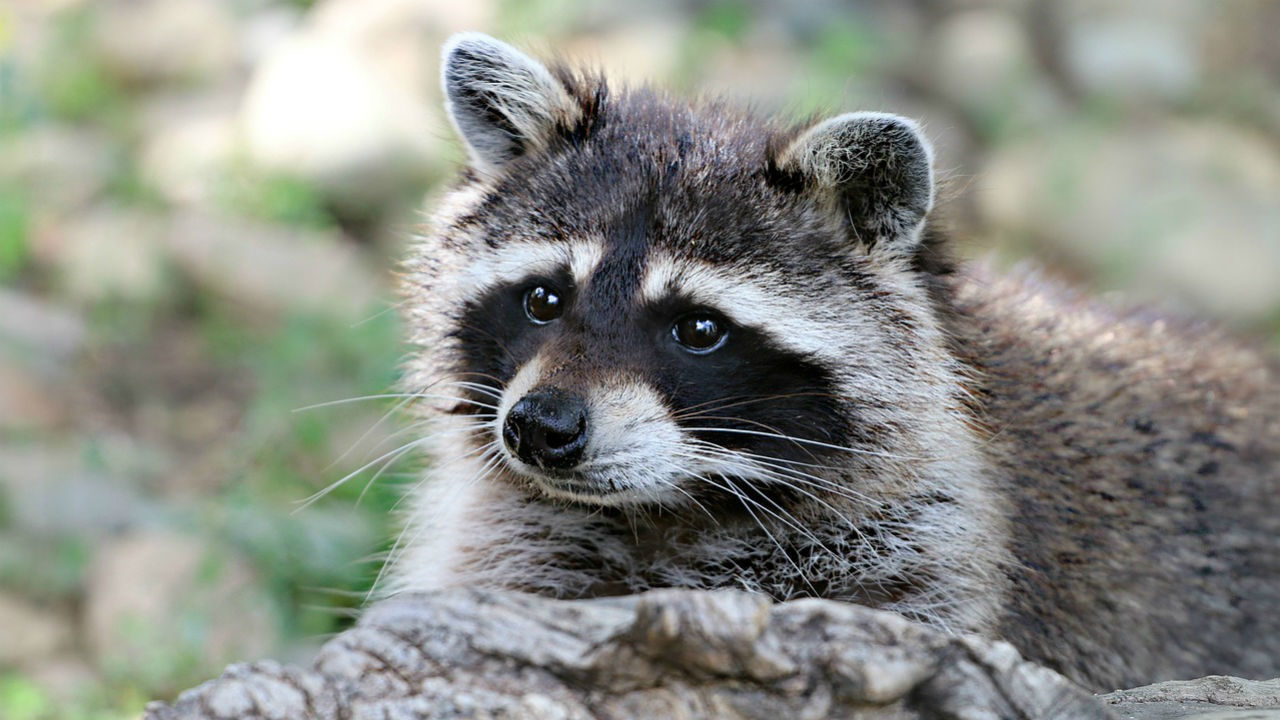 Raccoon recovering after being rescued from wet cement | WFTV