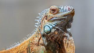 Florida iguana hunter fires pellet gun, mistakenly shoots pool worker, police say