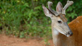 A young white-tailed deer, similar to one that joined swimmers on a Michigan beach, is pictured here.