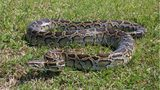 A 16-foot Burmese python that nested under a home in the Florida Everglades was removed Saturday.